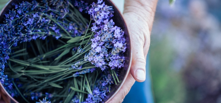 3 Lavender Plants for NW Montana Gardens
