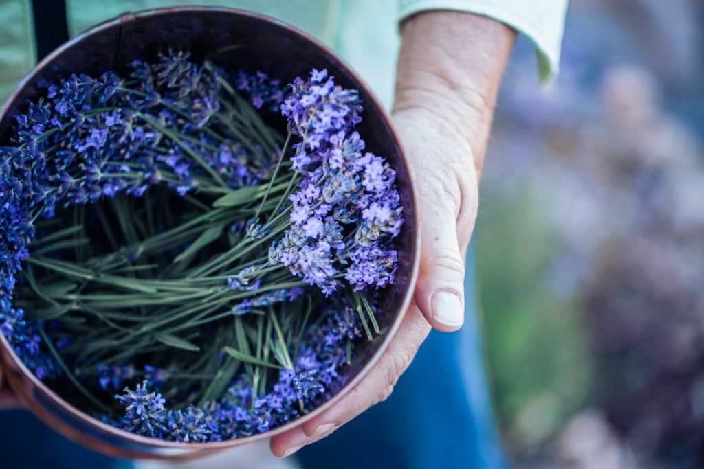 girl holding a brass bowl of locally grown flower lavender from a harvest