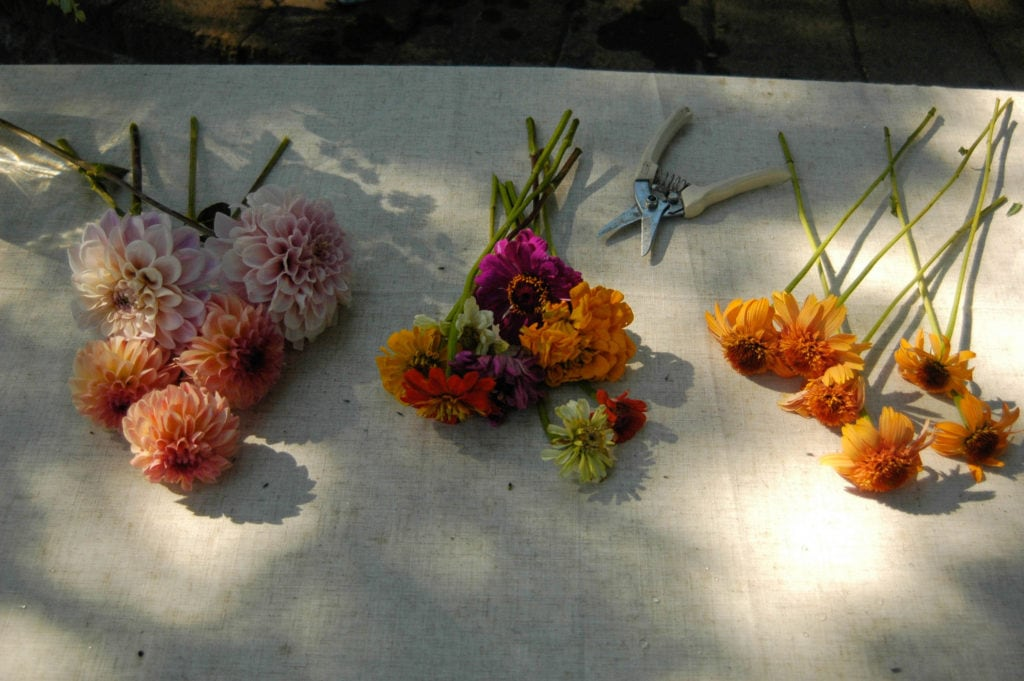 echinacea, zinnia, dahlias