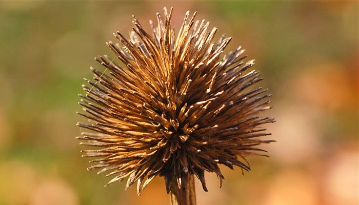 echinacea seed head perfect for dried arrangements