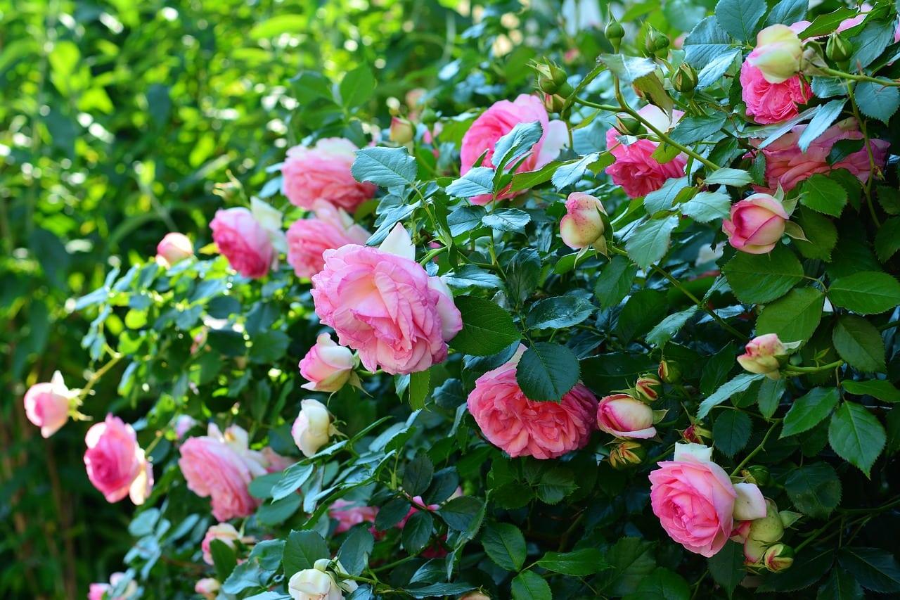 Garden Roses Bridal Bouquet Flower Meanings