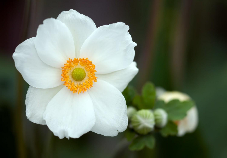 Anemone Wedding Flower