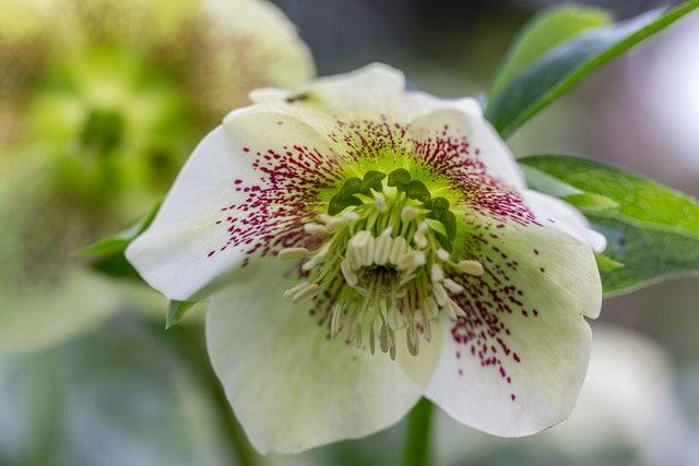 Hellebores Flower Trends