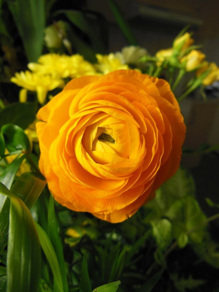 Ranunculus Flower Trends