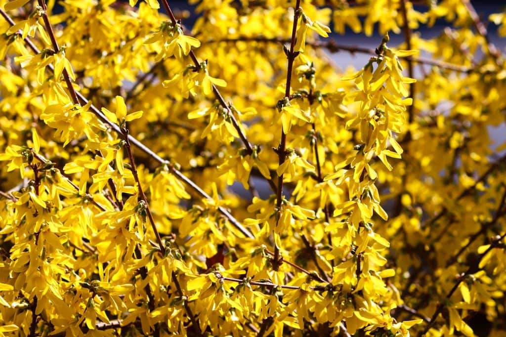 Forsythia  Missoula DIY Floral Design Wreath Material