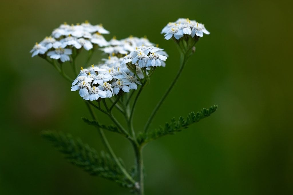 Montana Wildflowers Yarrow