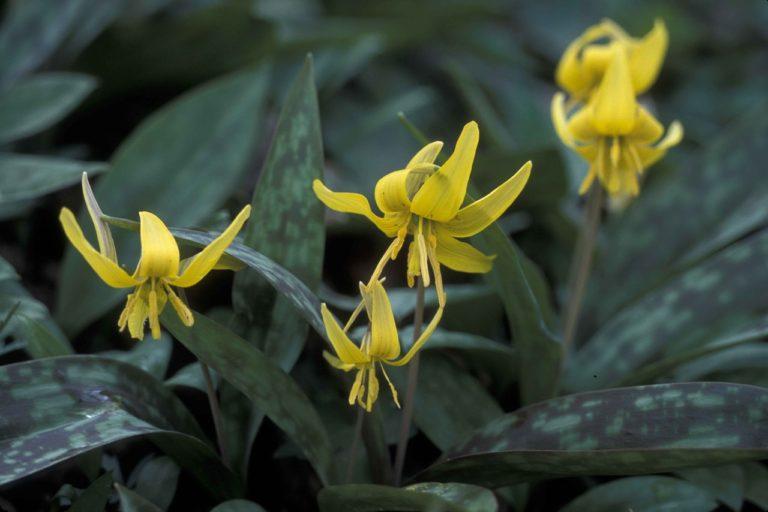 Spring Flowers Glacier lilies