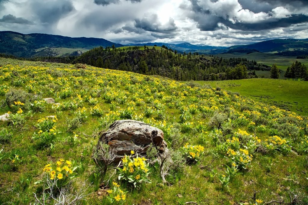 Montana wildflowers Balsamroot
