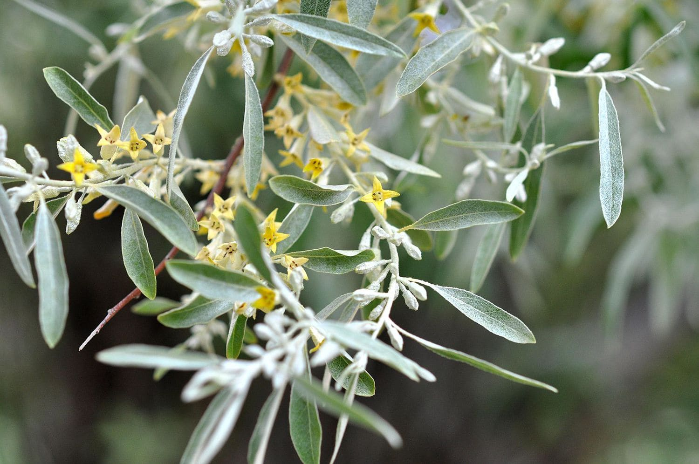 Montana Greenery - Russian Olive