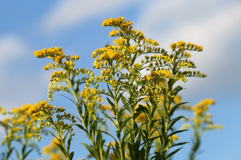 goldenrod against a blue sky