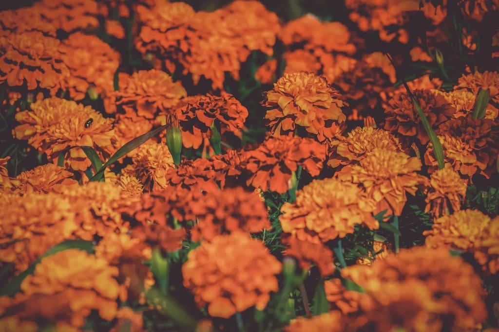 OrangeMarigolds