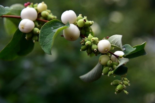 close up of snowberries