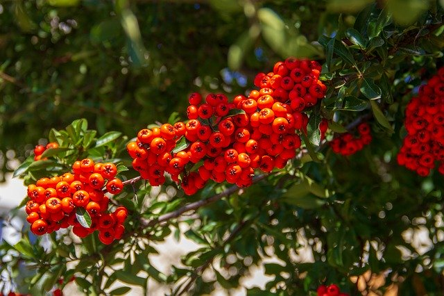 rowan berries close up photo
